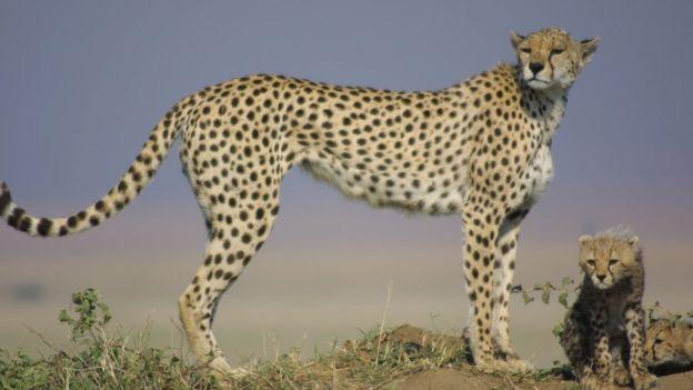 Cheetah_