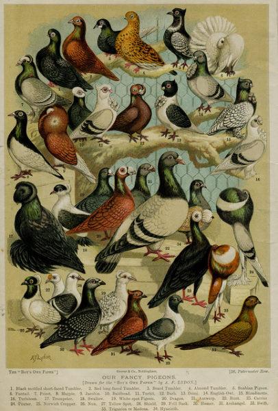artificial-selection-pigeons