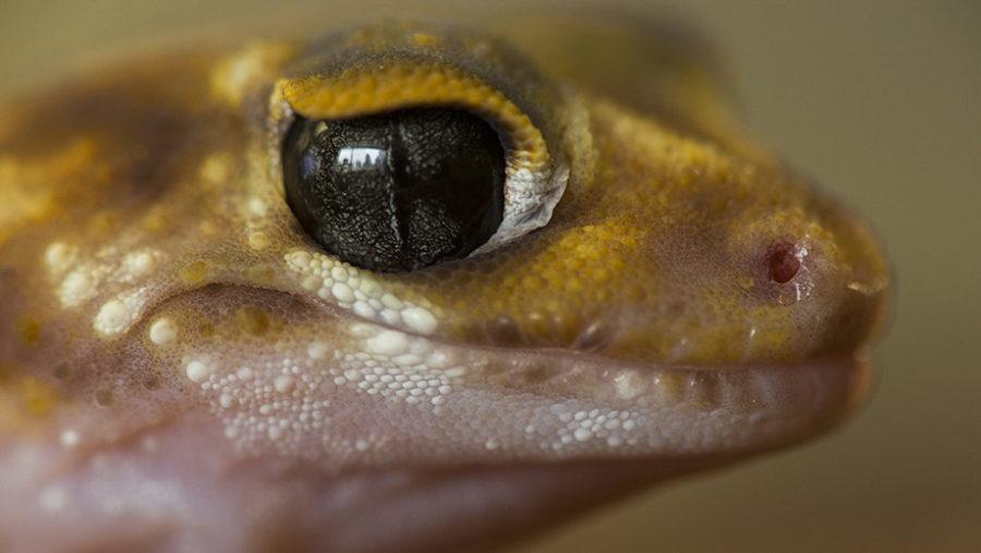 Muitos lagartos do deserto possuem estratégias e atributos para evitar a perda de água, tais como pele resistente e escamas. Crédito: NAU, Stuart Hay