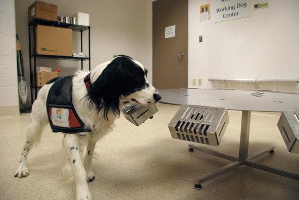 O cão McBaine, um detector de câncer na Penn Vet Working Dog Center, na Universidade de Pensilvânia.