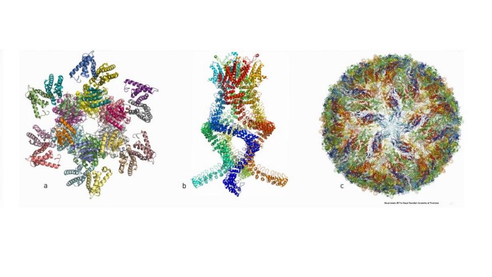 A imagem mostra como os pesquisadores têm ilustrado as estruturas de diferentes complexos de proteínas. Em(a) o complexo de proteínas que regula o ritmo circadiano, (b) sensor que mede alterações na pressão do ouvido e nos permite ouvir e (c) o vírus zika. Foto: The Royal Swedish Academy of Sciences