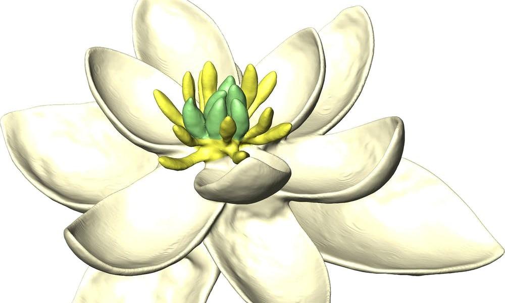 Uma reconstrução tridimensional da primeira flor do mundo. Fotografia: Hervé Sauquet & Jürg Schönenberger