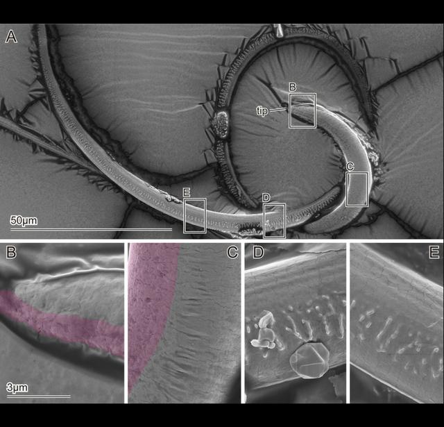 Imagem por microscopia eletrônica de varredura do flagelo da Cassida rubiginosa (A), indicando imagens ampliadas do flagelo (B-E); áreas rosadas representam superfícies encolhidas YOKO MATSUMURA, ALEXANDER KOVALEV & STANISLAV N. GORB