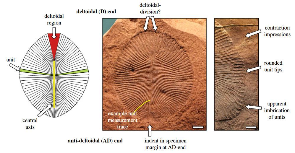 Fóssil de Dickinsonia costata e esquema mostrando o eixo central, região deltóide (topo), região anti-deltóide (inferior) e as unidades individuais. Imagem de Hoekzema et al.