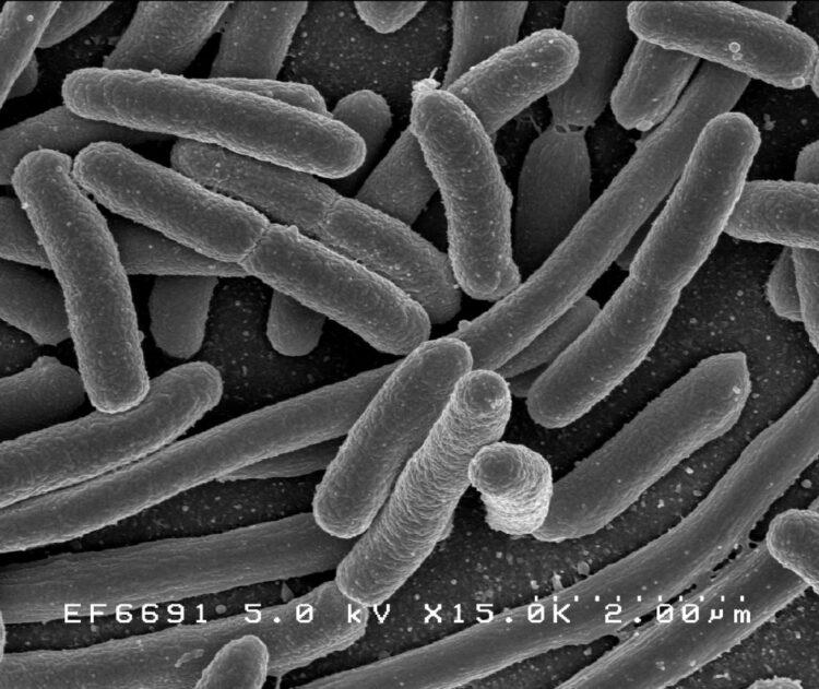 Escherichia coli Credito: Rocky Mountain Laboratories, NIAID, NIH
