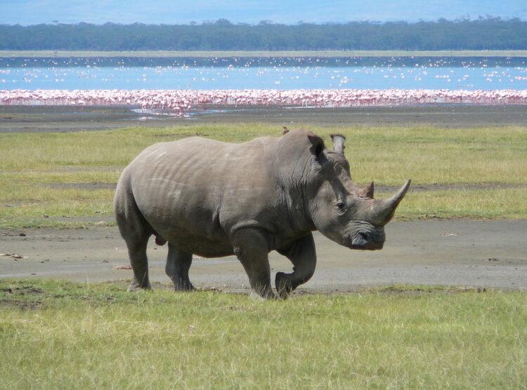 Rinoceronte branco no Lago Nakuru, Quênia. Foto: Ryan Harvey  (Wikipédia / CC BY-SA 2.0)