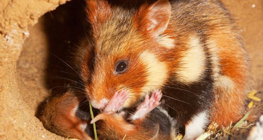 https://socientifica.com.br/wp-content/uploads/2019/06/Hamster-1.jpg