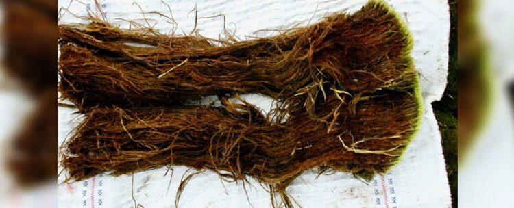 Uma amostra do musgo reavivado. (P. Boelen / BAS)
