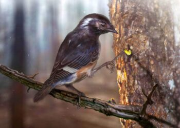 O pássaro, denominado Elektorornis chenguangi, viveu 99 milhões de anos atrás (período Cretáceo) e tinha um terceiro dedo do pé longo. Imagem: Zhongda Zhang.