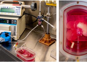 Esquerda: O biorreator. Direita: Um esqueleto de fígado de rato que foi preenchido com fígado humano, células vasculares e inflamatórias. (UPMC , CC BY-SA)