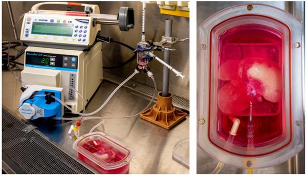 https://socientifica.com.br/wp-content/uploads/2019/08/Fígado-em-laboratório-1.png
