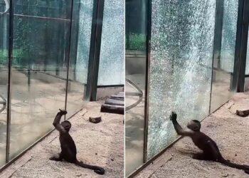 O pequeno macaco precisou de apenas alguns golpes com a pedra afiada para quebrar o vidro. (Imagem: Reprodução You Tube)
