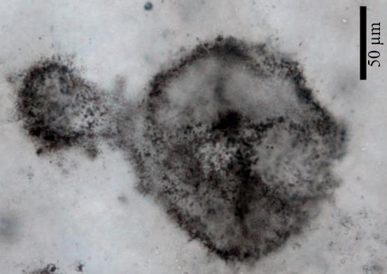 Os pesquisadores descobriram esses fósseis de micróbios antigos e acham que poderiam ser cianobactérias, os organismos que supostamente dão à atmosfera o primeiro de seu oxigênio.(Imagem: © Andrea Corpolongo)