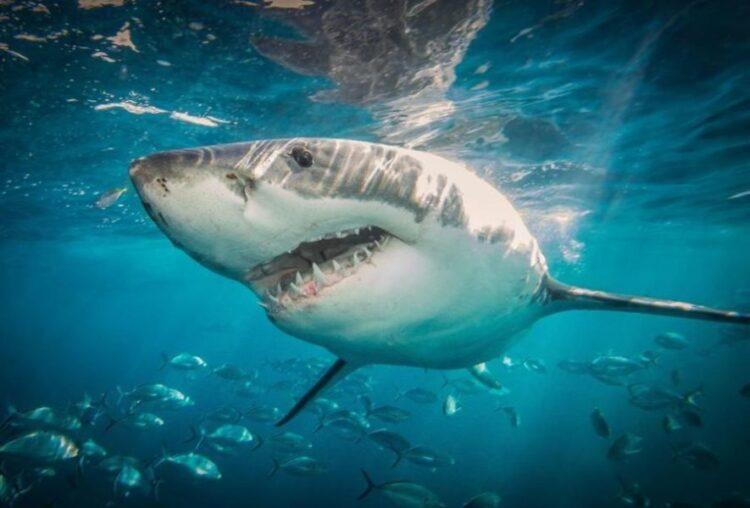 Um novo material de roupa de mergulho testado por pesquisadores marinhos de Flinders com tubarões-brancos de madeira nas Ilhas Netuno. (PROFESSOR ASSOCIADO CHARLIE HUVENEERS, UNIVERSIDADE DE FLINDERS)