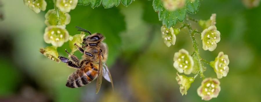 Abelhas também podem ser vítimas de fungicida. (Imagem: Myriams via Pixabay)