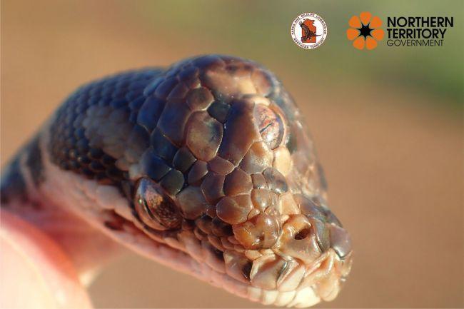 Guardas florestais encontram uma cobra de três olhos na Austrália