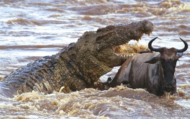 Um crocodilo do Nilo.