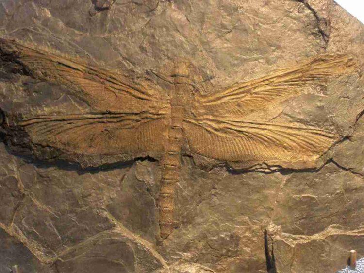 Um fóssil de Meganeuridae.