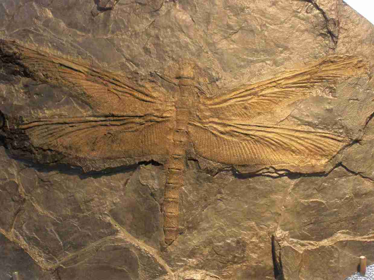 https://socientifica.com.br/wp-content/uploads/2019/09/The-Largest-Insect-Ever-Was-a-Giant-Dragonfly1-1__.jpg