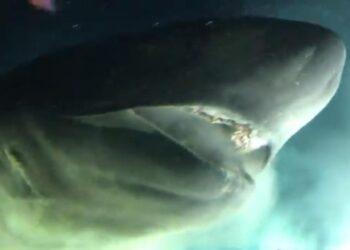 Este incrível tubarão pode crescer até 8 metros de comprimento e geralmente é maior que os grandes tubarões brancos.