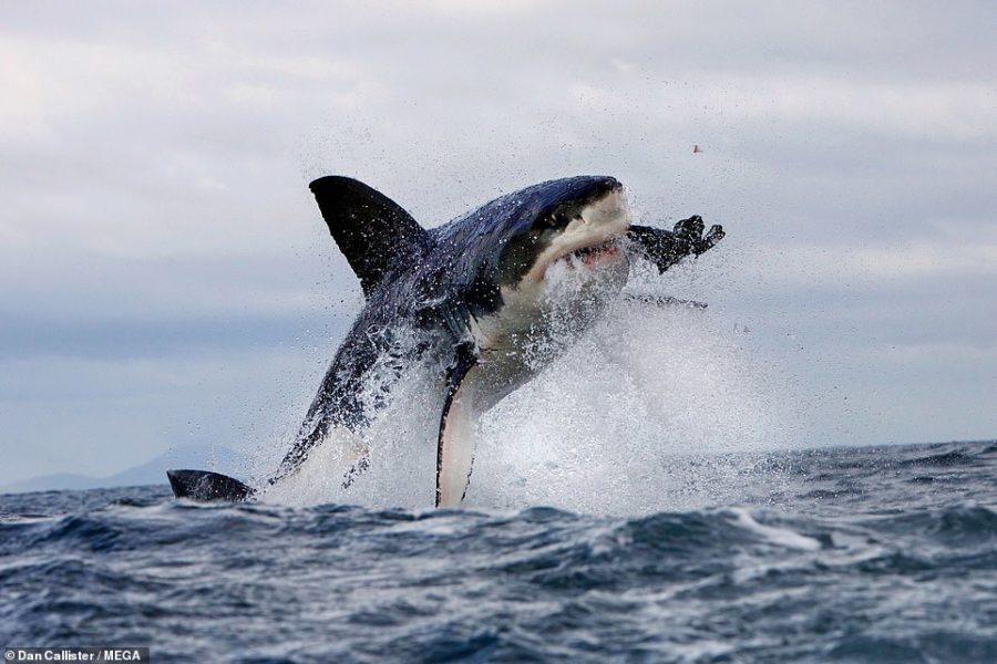 https://socientifica.com.br/wp-content/uploads/2019/09/Tubarões-brancos2.jpg