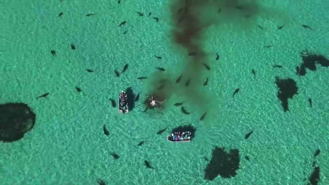 Aterrorizante: dezenas de tubarões devoram uma baleia jubarte