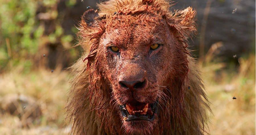 Caçador é morto por elefante e comido por leões na África do Sul