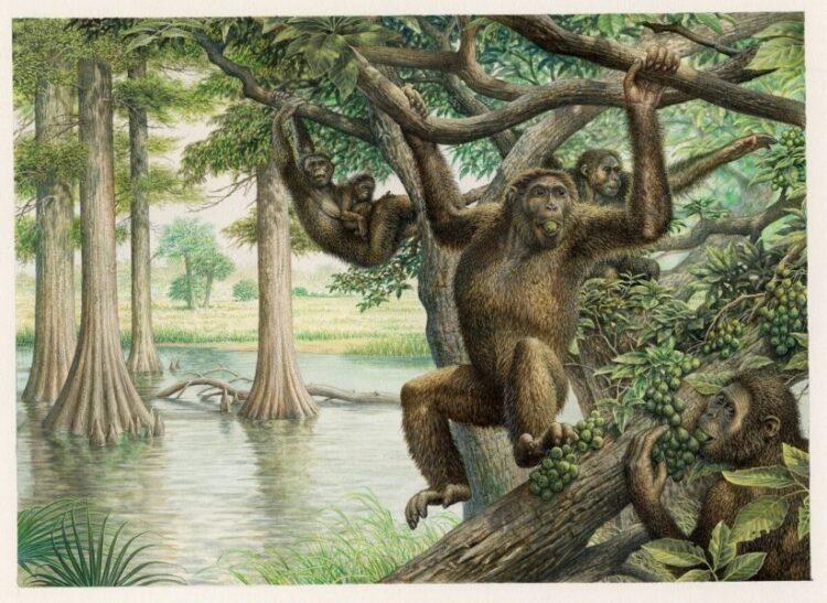Rudapithecus era muito parecido com um macaco e provavelmente se movia entre ramos como os de agora, segurando seu corpo erguido e escalando com seus braços. (Imagem: John Siddick)