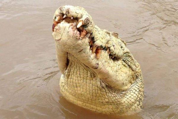 https://socientifica.com.br/wp-content/uploads/2019/10/Crocodilo-albino.jpg