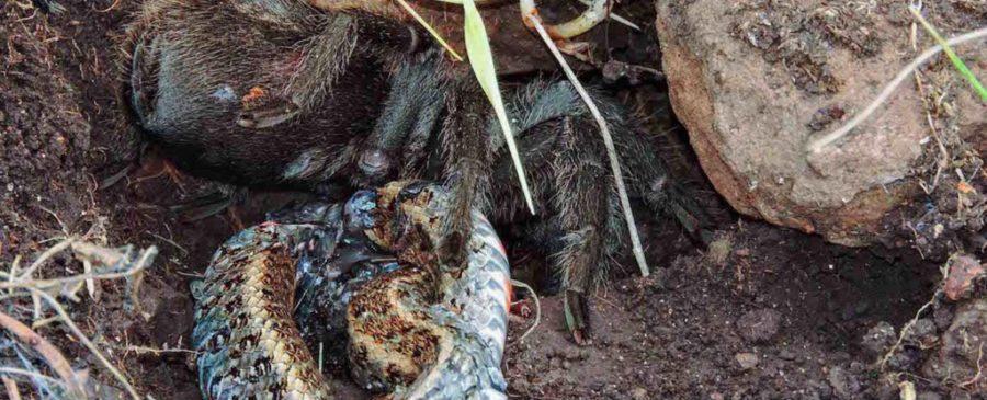 Tarântula gigante esmaga cobra até a morte: veja imagens