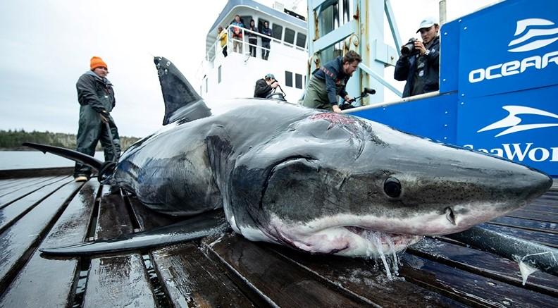 Grande tubarão branco foi atacado por criatura muito maior
