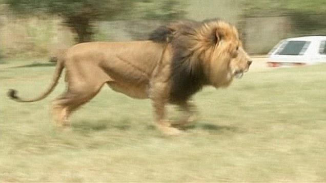 Homem solta leão em cima de trabalhador que exigiu pagamento atrasado