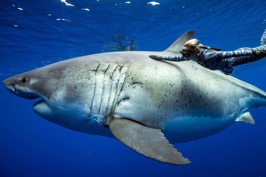 https://socientifica.com.br/wp-content/uploads/2019/11/maior-tubarão-branco-já-registrado-scaled.jpg