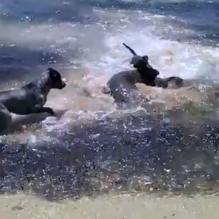 Os quatro cães podem ser vistos perseguindo e brincando  divertidamente com os tubarões enquanto caçam os peixes menores.