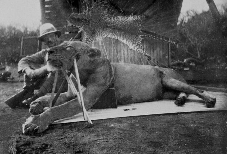 O primeiro leão, morto por John Henry Patterson, agora identificado como FMNH 23970. (Imagem: Field Museum)