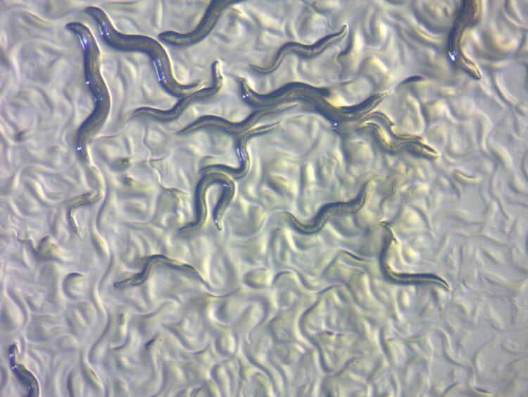 Vermes de C. elegans. (Imagem: ZEISS Microscopy)