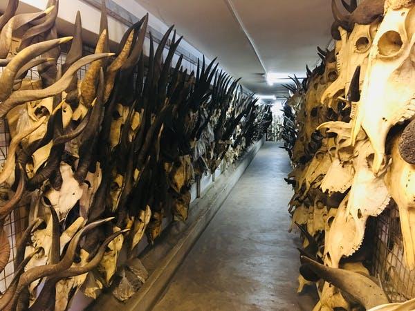 Os museus de história natural mantêm uma riqueza de informações, algumas das quais só podem ser exploradas através de novos métodos biomoleculares. Os cientistas analisam esqueletos de animais modernos e fósseis para fazer perguntas sobre o passado usando proteínas antigas. Mary Prendergast nos Museus Nacionais do Quênia , CC BY-ND