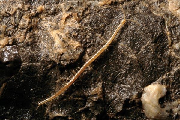 Geophilus hadesi. Daniel Mietchan/Wikimedia, CC BY
