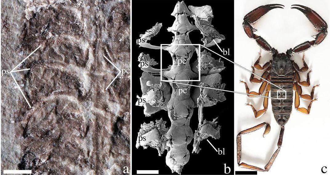 """Um fóssil de Parioscorpio venator (a) comparado a uma imagem microscópica de Centruroides exilicauda (b) e Hadogenes troglodytes (c), ambos escorpiões modernos. """"bl"""" significa pulmões de livros, uma estrutura respiratória, e """"pc"""" representa pericárdio, uma estrutura que envolve o coração. As barras de escala são de 1 milímetro para aeb e 1 centímetro para c. (Wendruff et al., Scientific Reports, 2020)"""