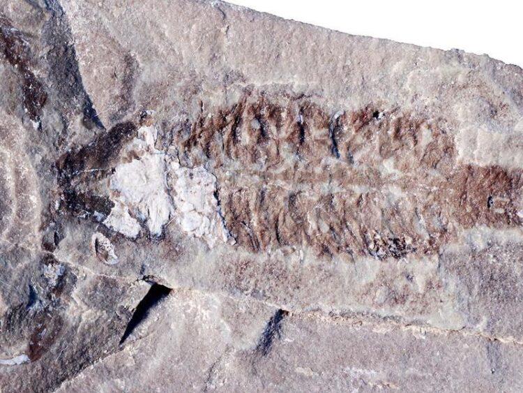 Um fóssil do Parioscorpio venator , um escorpião de 437 milhões de anos que se assemelha a espécies modernas, foi um das primeiras formas de vida a andar na Terra, (Wendruff et al., Scientific Reports, 2020)