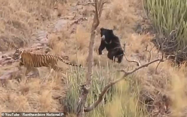 Nas imagens o urso confronta os dois tigres e depois os persegue. (Imagem: YouTube/Ranthaboe National Park)