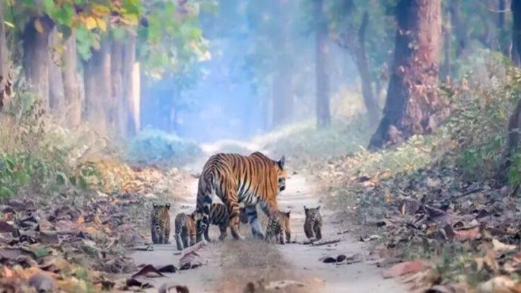 Tigre com filhotes flagrado na Índia