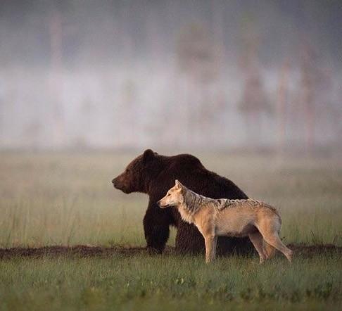 Urso pardo e lobo trabalhando juntos