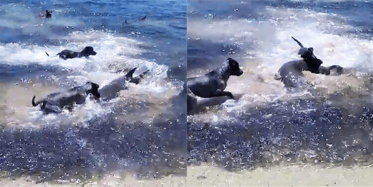 Quatro cães foram flagrado brincando com tubarões na praia