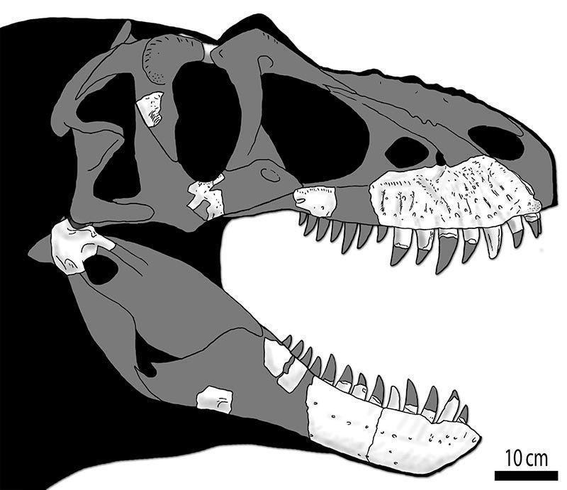Reconstrução de como seria o crânio dos Ceifador da morte, com base nas evidências fósseis e em outros crânios de Tiranossaurus. (Imagem: Jared Voris)