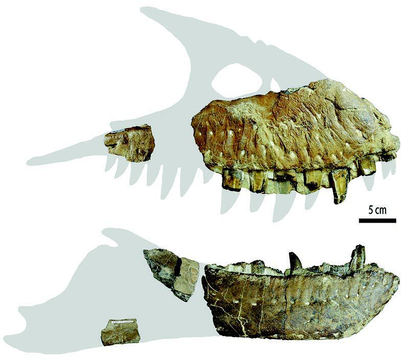Ossos maxilares do ceifador da morte mostram dentes grandes, adaptados para comer carne e esmagar ossos. (Imagem: Jared Vores)