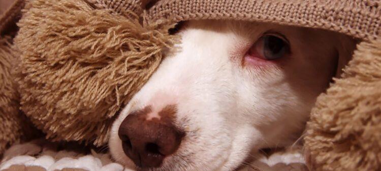 Estudo comovente mostra os efeitos que gritos podem sobre o seu cão. (Imagem: smrm1977 / iStock)