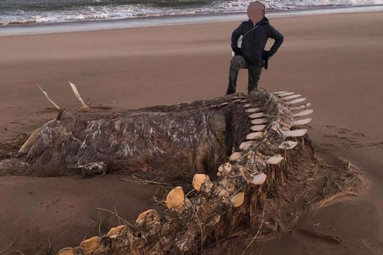 Mistério envolve esqueleto gigantesco encontrado na praia durante Tempestade Ciara, enquanto moradores dizem que é o Monstro do Lago Ness.