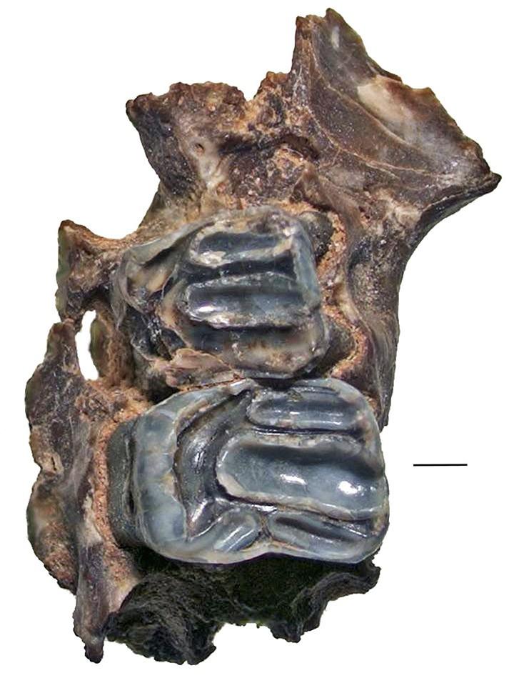 Mandíbula e dentes pertencentes a nova espécie de esquilo voador. (Imagem: Mikhail Tiunov)