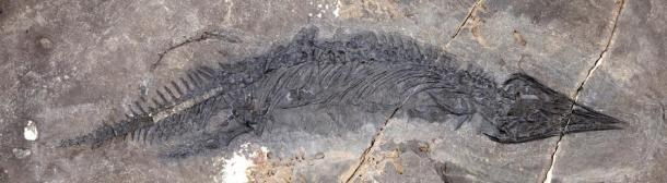 O fóssil de um talatossauro com focinho pontudo é uma nova espécie, e o mais completo talatossauro encontrado na América do Norte. (Museu da Universidade do Alasca do Norte)